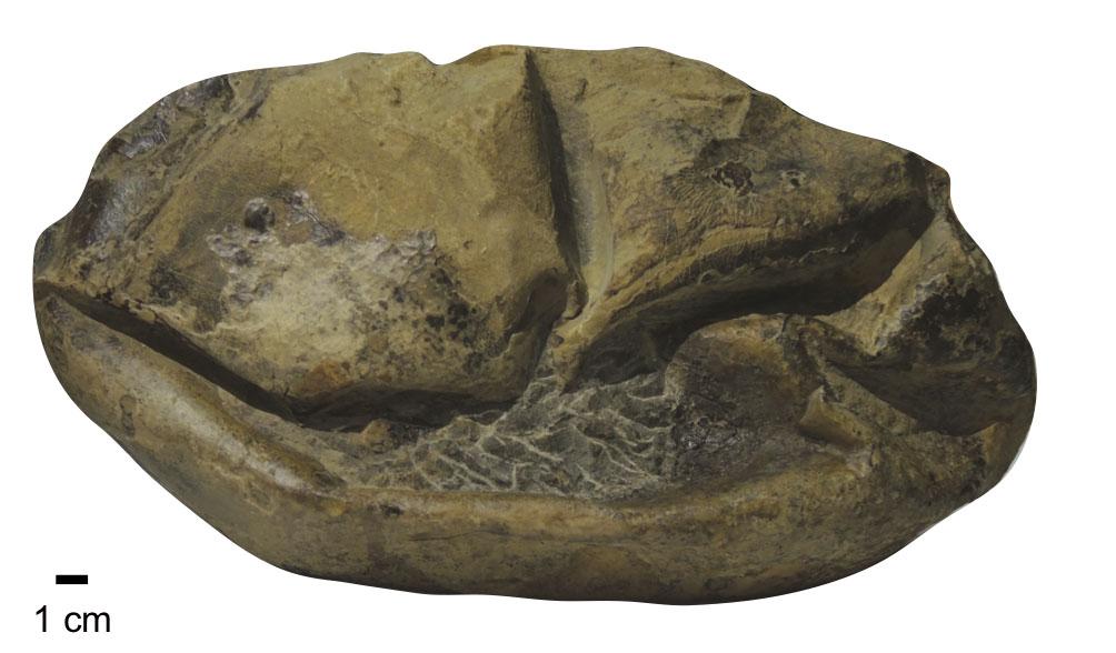 702defdadfa2e8f8db2a865eea5e428b-6 Antarctic sea lizard laid mystery fossil named 'The Thing'