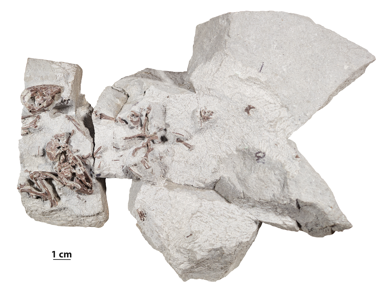 6e6aac276952f195477d3361bc24a437-1 Fossils reveal cozy, social life of this early mammal